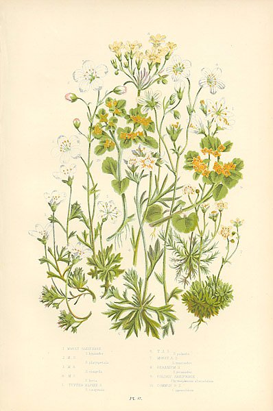 Mossy Saxifrage m.s., Tufted Alpine s., t.a.s., Mossy a.s., Geranium s., Golden Saxifrage, Common g.