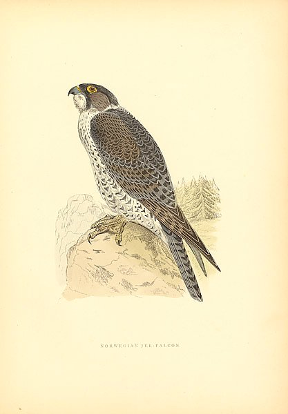 Norwegian Jer-Falcon