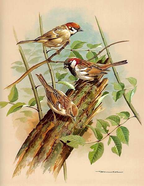 Tree Sparrow And House Sparrow