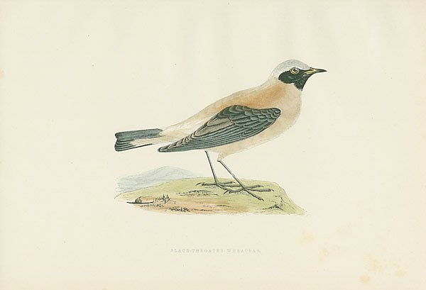 Black-throated Wheatear