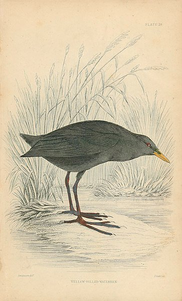 Yellow-billed Waterhen