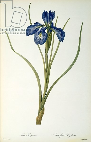 Iris Xyphioides, from `Les Liliacees', 1808