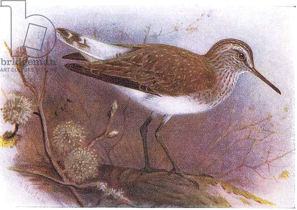 Green Sandpiper, from Birds of the British Isles and Their Eggs published by Frederick Warne & Co Ltd, 1958