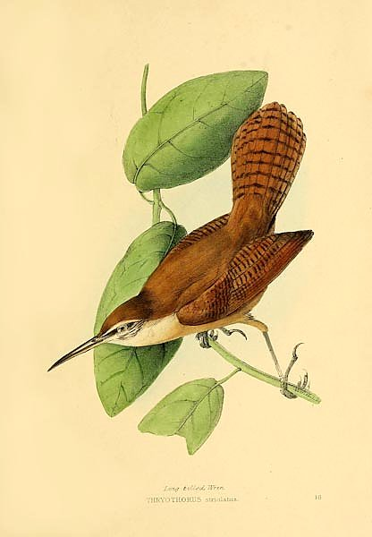 Long billed Wren