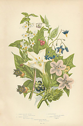 Постер Common Thorn Apple, Common Henbane, Bittersweet, Common Nightshade, Dedly Nightshade