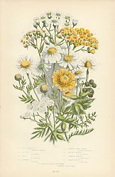 Постер Sea Chamomille, Ox-eye c., Corn c., Stinking c., Sneeze-wort Yarrow, Dotted-leaved y., Common-milfol