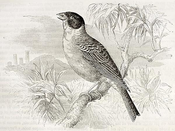 Black-headed Bunting  (Emberiza melanocephala). Created by Kretschmer, published on Merveilles de la