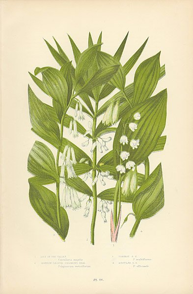 Lily of the Valley, Narrow-leaved Solomon's Seal, Common s.s., Angular s.s