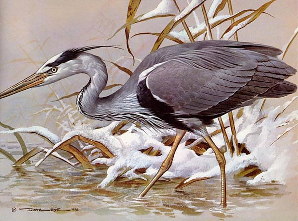 British Birds - Grey Heron