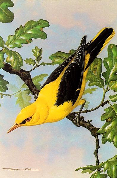 British Birds - Golden Oriole