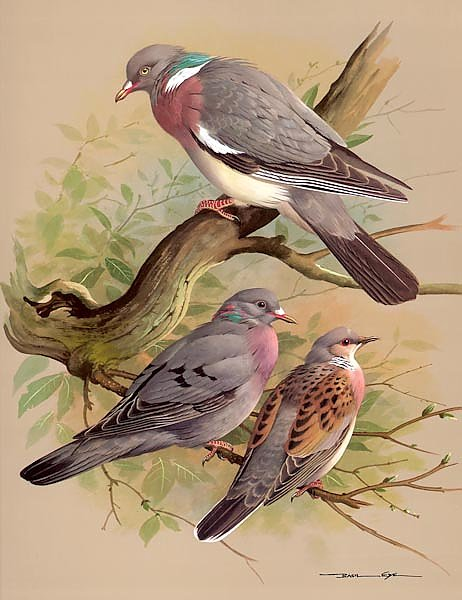 Wood Pigeon-Stock Dove-Turtle Dove