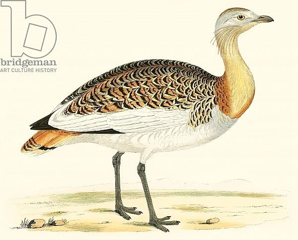 Great Bustard 3