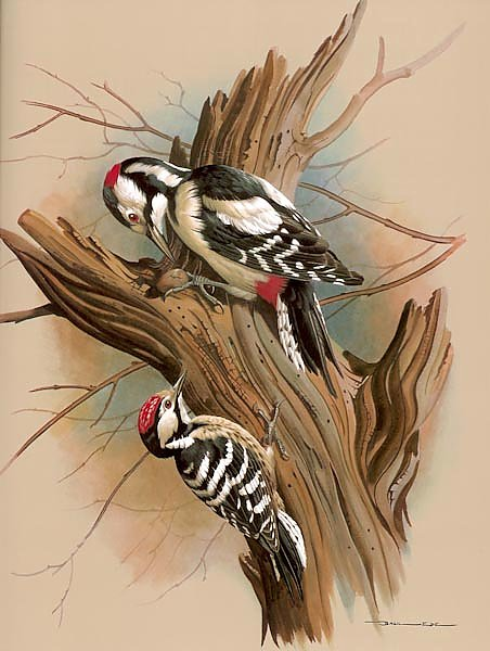 The Pied Woodpecker And Barred Woodpecker