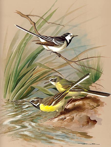 Pied Wagtail And Grey Wagtail
