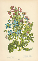 Постер Common Borage, German Madwort, Common Hounds Tongue, Green Leaved Hounds Tongue