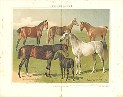 Постер Horse Breeds I. English, Arabic, Norfolk, Hungarian, Shetland