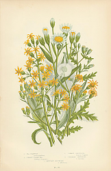 Постер Sea Starwort, Common Golden Rod, Common Groundsel, Stinking Groundsel