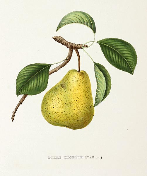 Pears - Poire Leopold