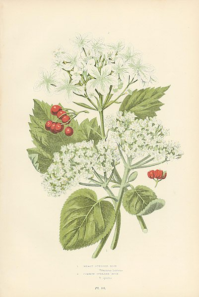 Mealy Gueder Rose, Common Guelder Rose