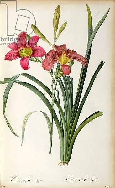 Hemerocallis fulva, from `Les Liliacees', 1805