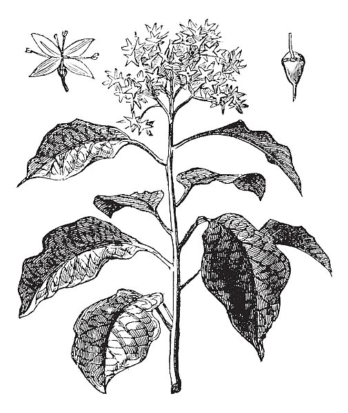 Pagoda Dogwood or Alternate-leaved Dogwood or Cornus alternifolia, vintage engraving