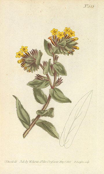 Lithospermum Orientale. Yellow Gromwell, or Bugloss
