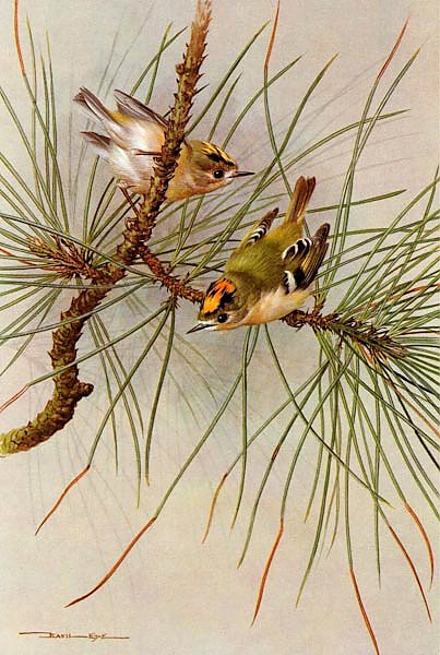 British Birds - Goldcrest