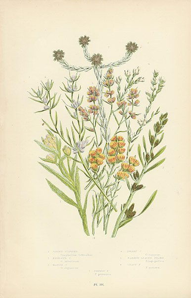 Jersey Cudweed, Highland C.,Marsh C.,Dwarf C., Narrow Leaved Filago,Least F.