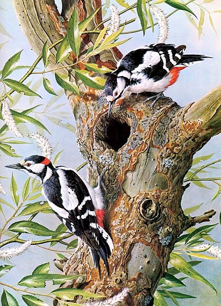 British Birds - Great Spotted Woodpecker