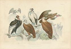 Постер King of Vulture, Sociable Vulture, Bearded Vulture Orlammergeyer, Griffon Vulture,Condor