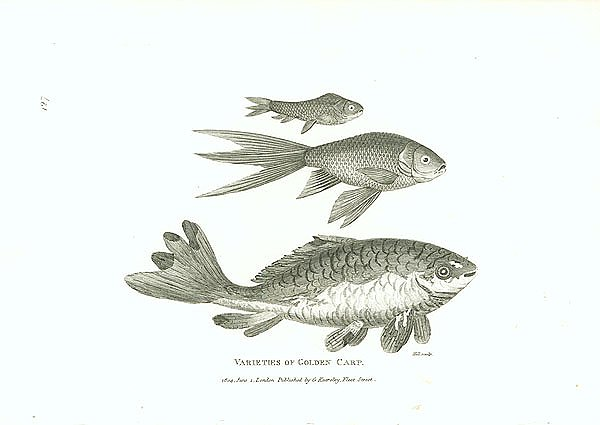 Varieties of Golden Carp