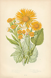 Постер Marsh Flea Wort, Field Flea Wort, Great Leopards Bane, Plantain Leaved Leopards Bane