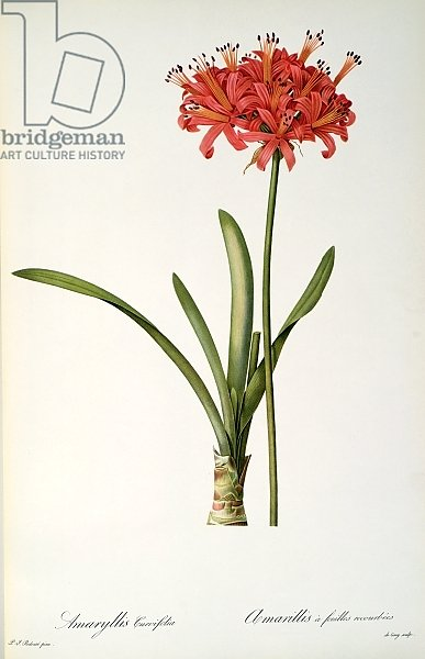 Amaryllis Curvifolia, 1809, from `Les Liliacees' by Pierre Redoute, 8 volumes, published 1805-16,