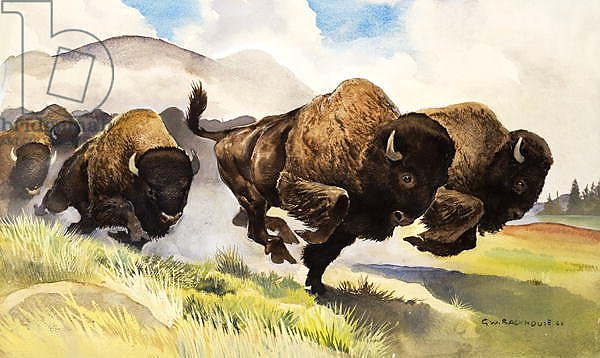 These buffalo are bison, 1962