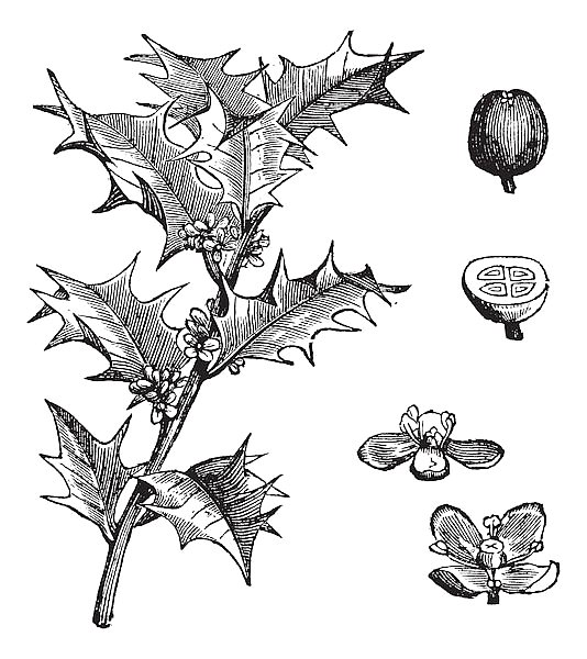 Holly or Ilex aquifolium vintage engraving