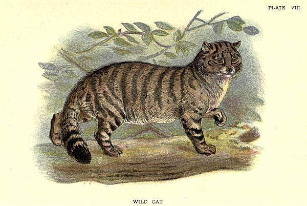BRITISH MAMMAL WILDCAT 1896