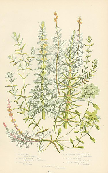 Mares Tail, Whorled Water-milfoll, Spiked w.m., Alternate Flowered w.m., Water Star-wort, Pedunculat