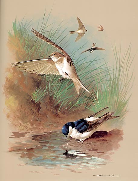 The House Martin And Sand Martin