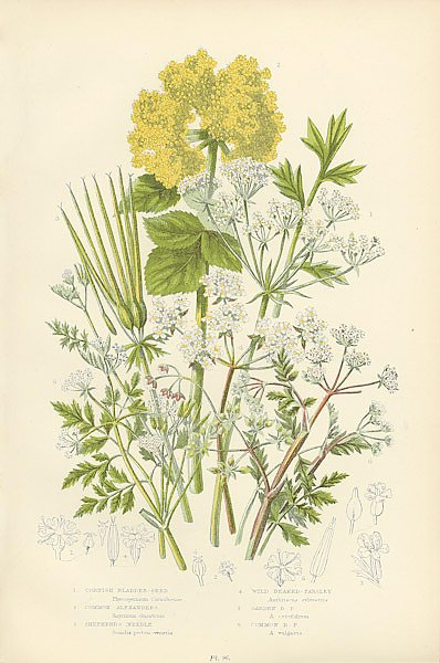 Cornish Bladder-seed, Common Alexanders, Shepherd's Needle, Wild Beaked-parsley, Garden b. p., Commo