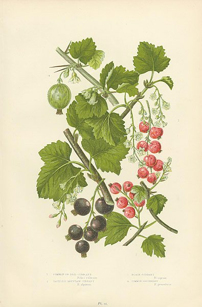 Common or Red Currant, Tasteless Mountain Currant, Black Currant, Common Gooseberry