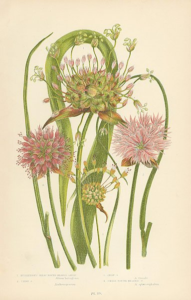 Bulbiferous Great Round Headed Garlic, Chive g., Crow g., Small Round Headed g.