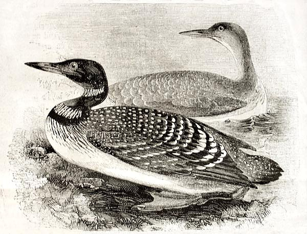 Great Northern Loon (Gavia imber). Published on Magasin Pittoresque, Paris, 1850