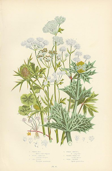 White-rot, Wood Sanicle, Sea Holly, Field Eryngo, Water Hemlock, Wild Celery