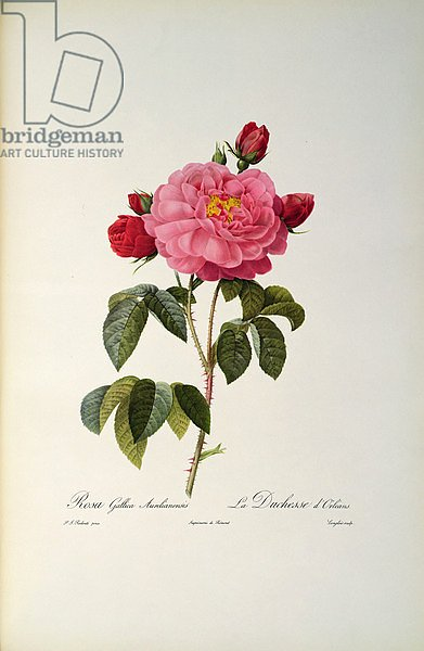 Rosa Gallica Aurelianensis or the Duchess of Orleans from, 'Les Roses', 1821