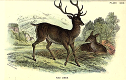 Постер BRITISH MAMMAL 1896 RED DEER