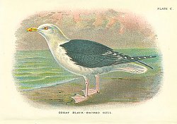 Постер Great Black-Backed Gull