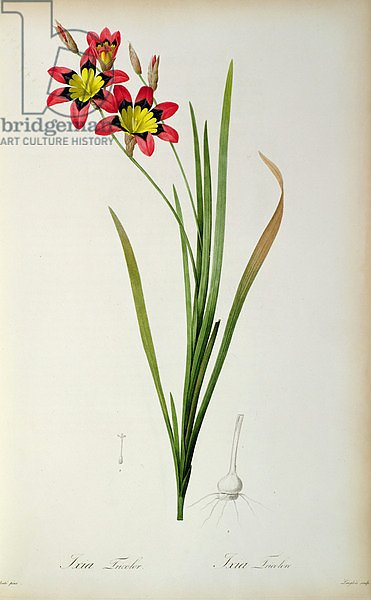 Ixia Tricolor, from `Les Liliacees', 1805