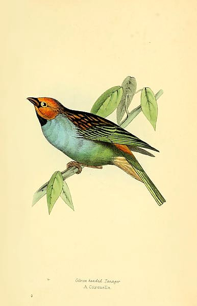 Citron Headed Tanager