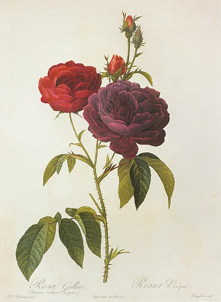 Rosa Gallica L. 'The Bishop'