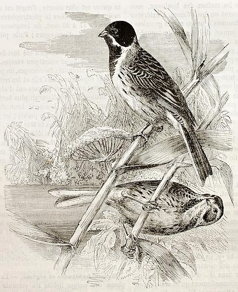 Reed Bunting (Emberiza schoeniclus). Created by Kretschmer, published on Merveilles de la Nature, Ba